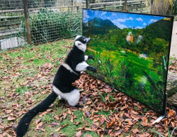 What Do Lemurs and Langurs Watch on TV?